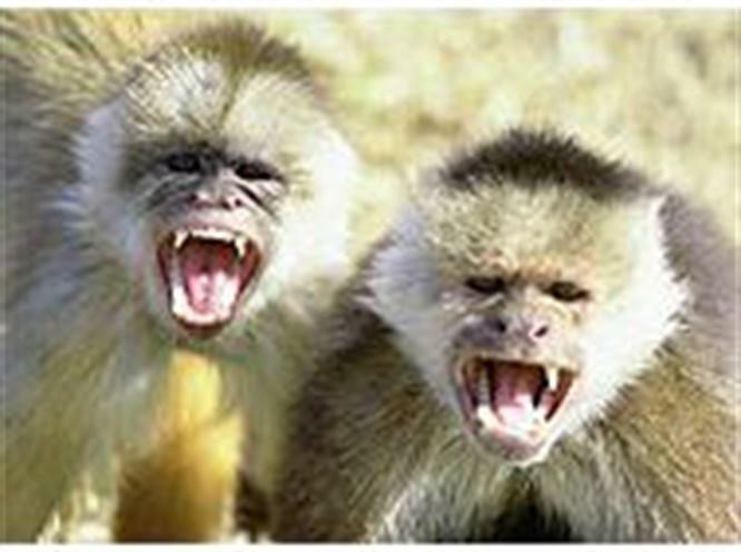 Maymunların da aksanı var!